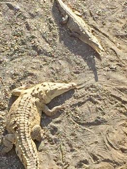 More Crocodiles